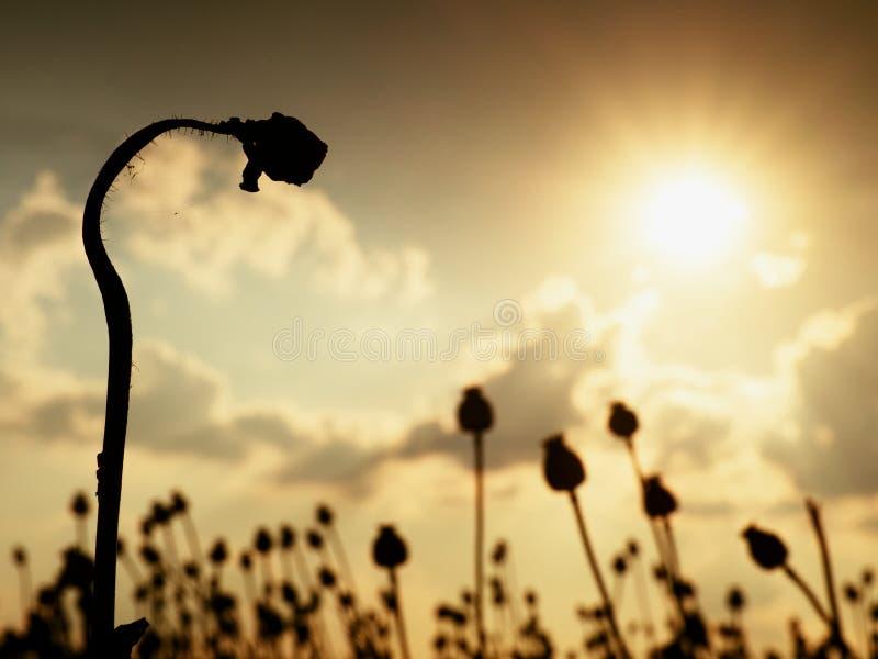 Böjd stjälk av vallmofrö Aftonfält av vallmohuvud Torra blommor väntar plockningen royaltyfria bilder