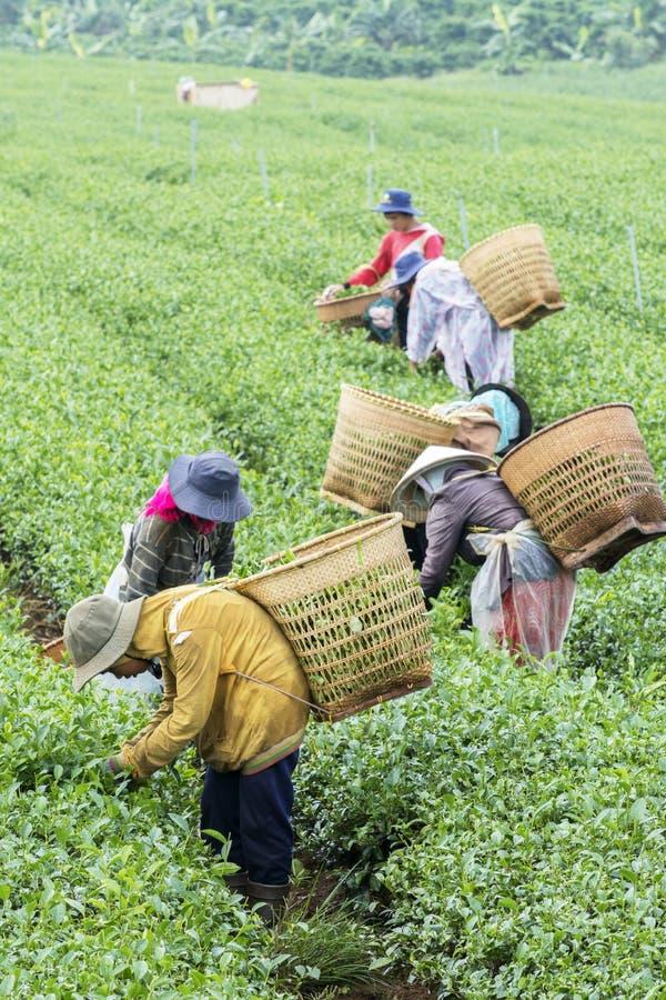 Bönder arbetar på tefältet, Bao Loc, Lam Dong, Vietnam arkivbilder