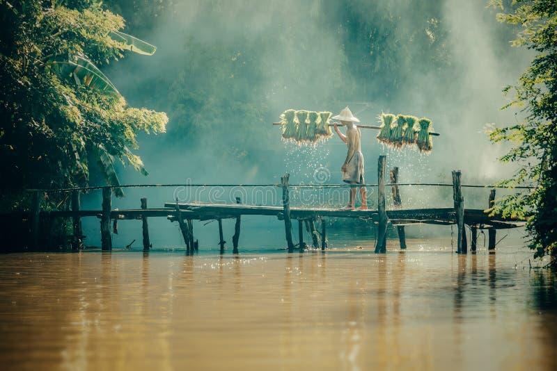 Bönder bär risplantor på en skuldra i den regniga säsongen arkivbilder