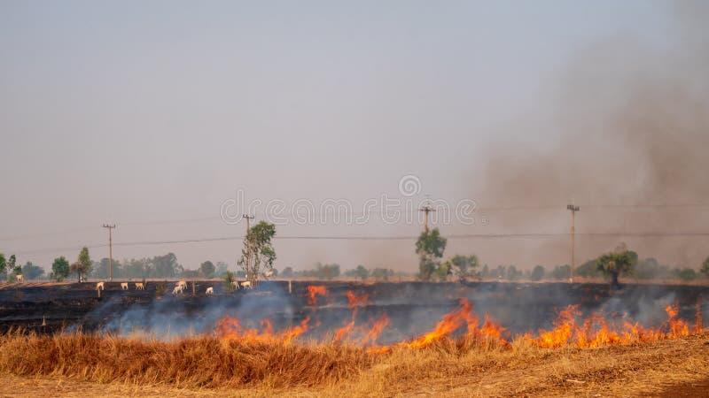 Bönder bränner risskäggstubb i risfältet arkivbild