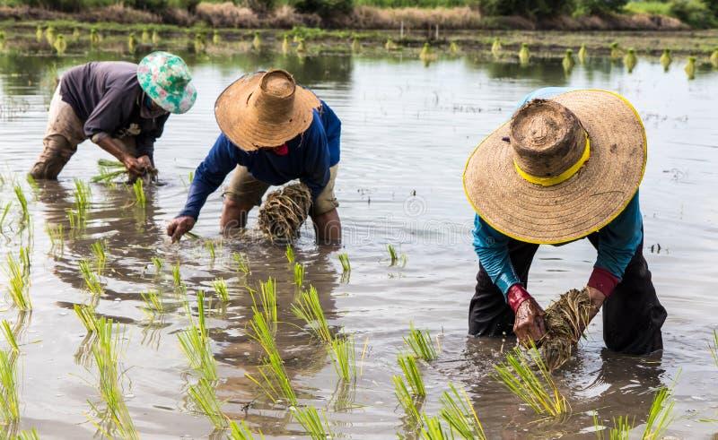 Bönder gör risplantor royaltyfria foton