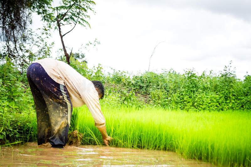 Bönder och ris royaltyfria bilder