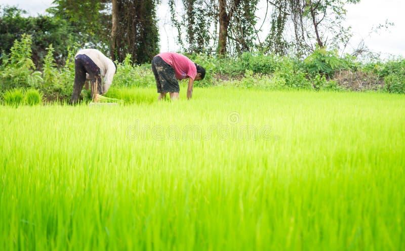 Bönder och ris arkivbilder
