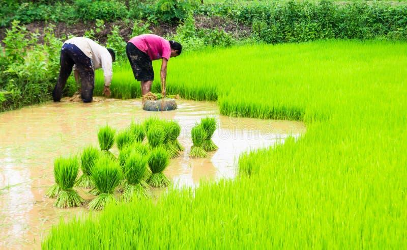 Bönder och ris royaltyfri bild