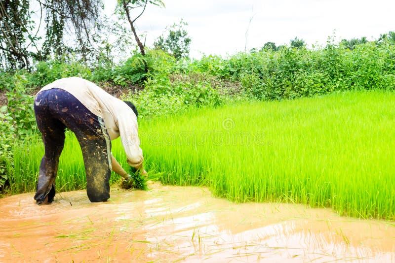 Bönder och ris royaltyfri fotografi