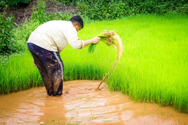 Bönder och ris royaltyfri foto