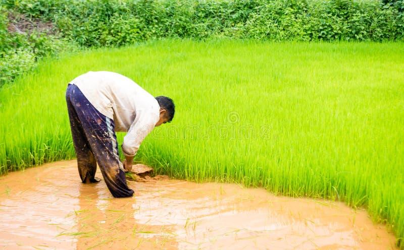Bönder och ris arkivfoto