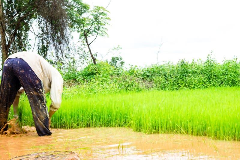 Bönder och ris arkivbild