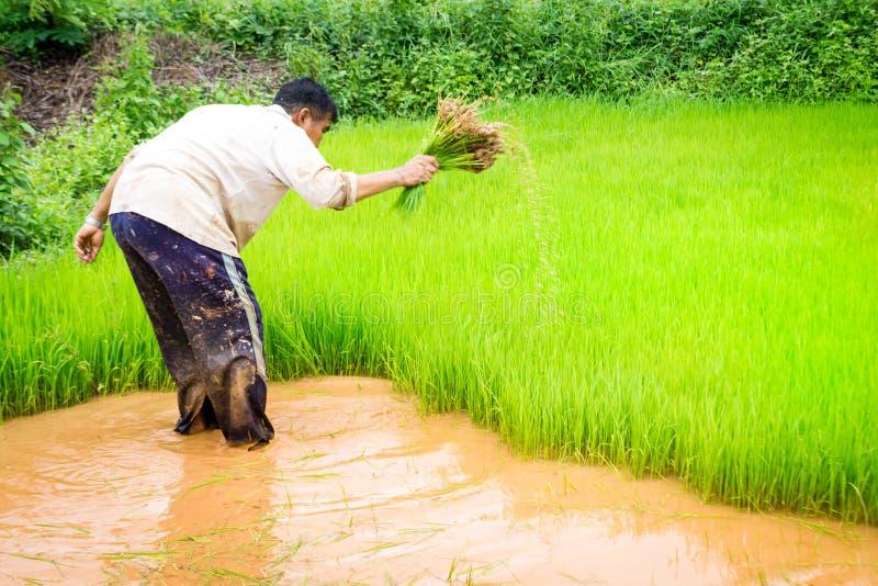 Bönder och ris arkivfoton