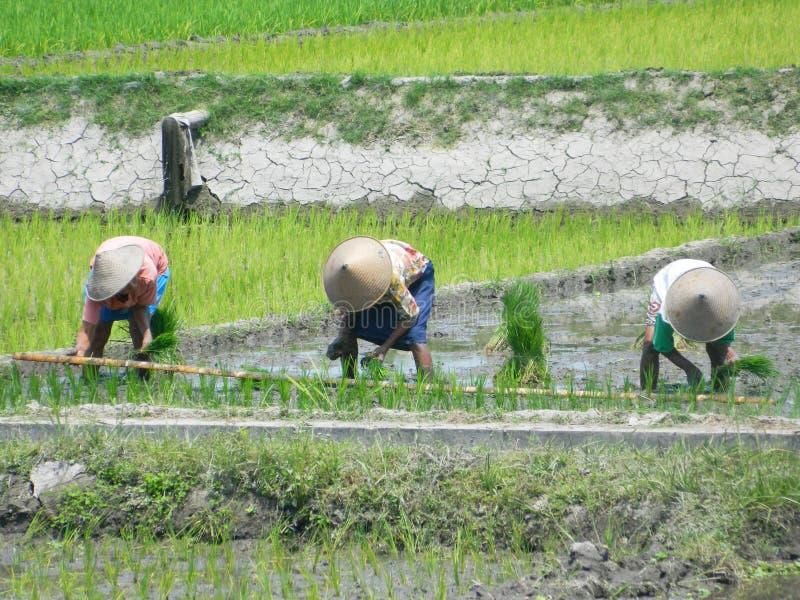 Bönder på risfältet, Java Indonesia royaltyfri foto