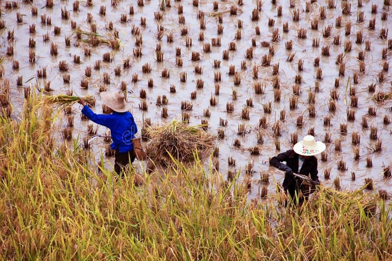 Bönder som arbetar i ett rårisfält under skörd arkivbild