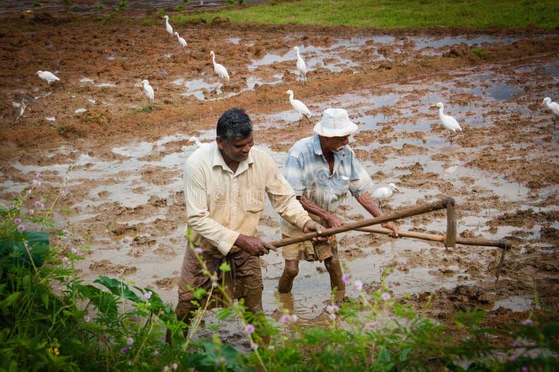 Bönder som arbetar i risfälten arkivfoto