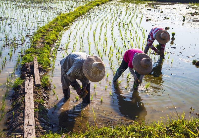 Bönder som fungerar plantera rice i paddyfältet arkivbilder