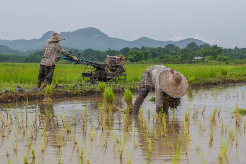 Bönder som fungerar plantera rice i paddyfältet royaltyfri fotografi