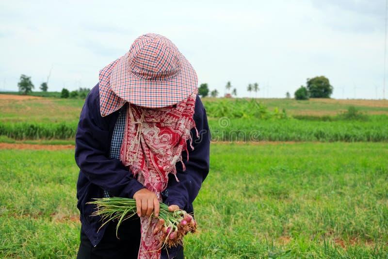 Bönder som organiskt skördar gröna schalottenlökar arkivbild