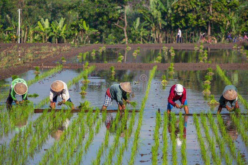 Bönder som planterar ris nära Yogyakarta, Indonesien royaltyfri foto