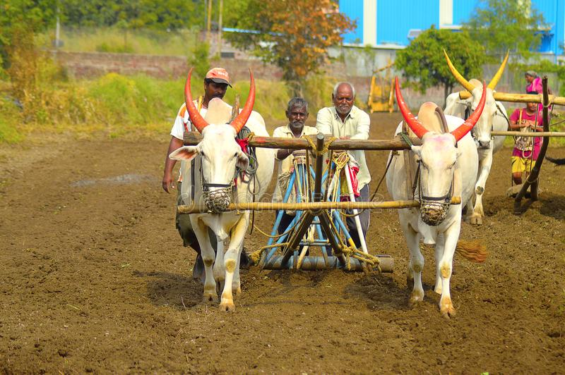 Bönder som sår frö med hjälpen av vita tjurar och, plöjer nära Velha arkivfoto