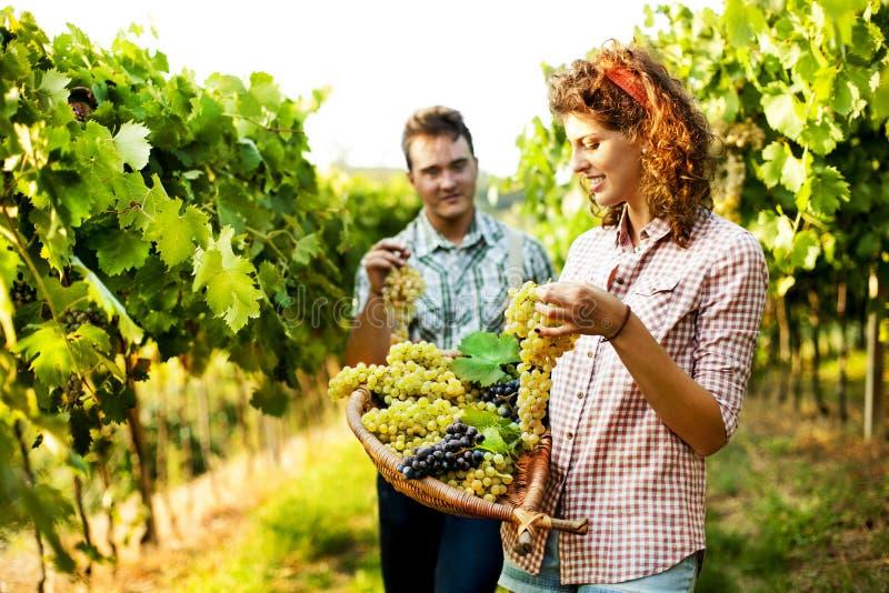 Bönder som skördar druvor i en vingård royaltyfria bilder