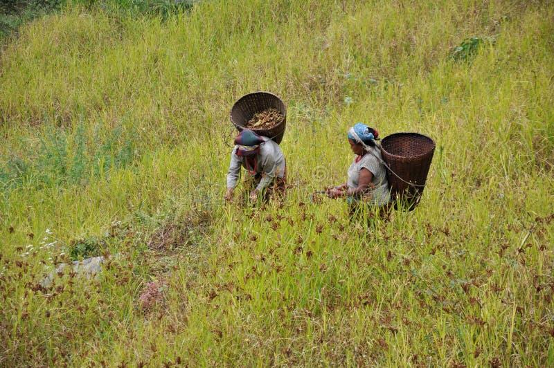 Bönder som skördar Millet arkivfoto