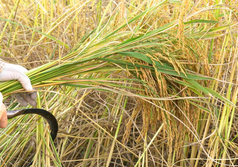 Bönder som skördar ris i risfält i Thailand arkivbild