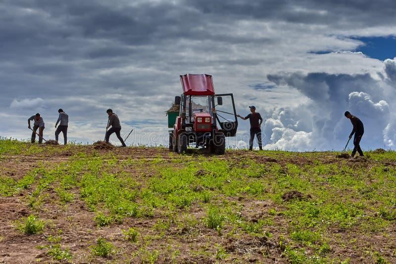 Bönder tar bort gammalt gräs från fältbrukshögaffeln arkivbilder