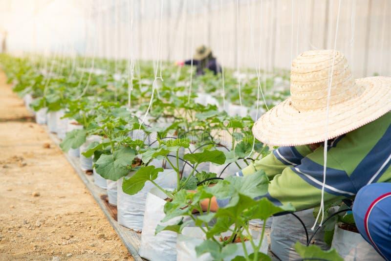 Bönder tar omsorg av den melonplantorna eller cantaloupmelon på organiska lantgårdar royaltyfri foto