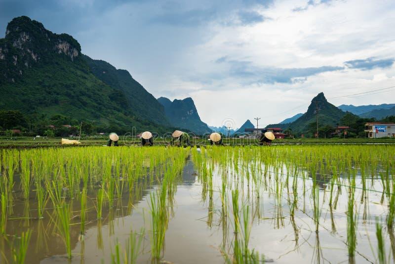 Bönder transplanterar ris i Bac Son fotografering för bildbyråer