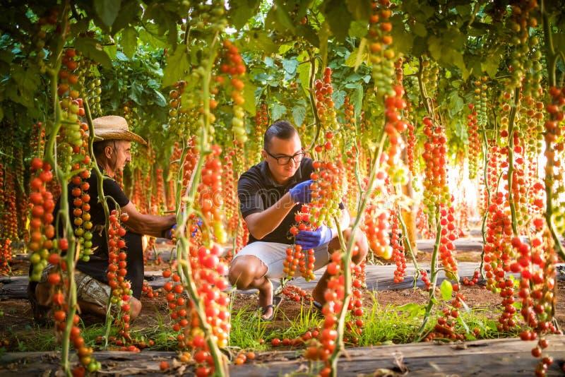 Bönder två män som kontrollerar växter för körsbärsröd tomat i växthus fotografering för bildbyråer