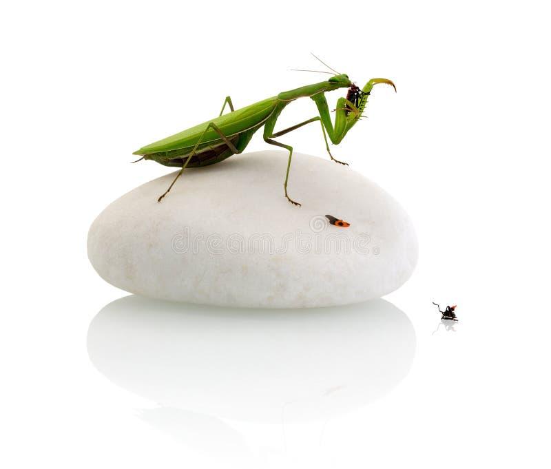 Bönsyrsa som äter en firebug - som isoleras på vit bakgrund med skuggareflexion royaltyfria bilder