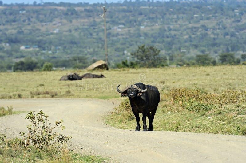 Download Búfalo imagen de archivo. Imagen de sabana, búfalo, áfrica - 42433431