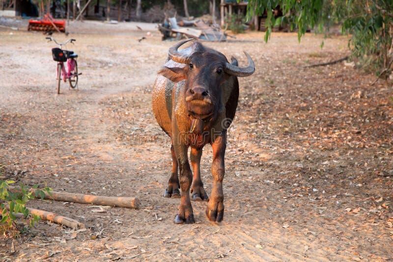 B?falo adulto que mira la c?mara, Tailandia, Asia imagenes de archivo