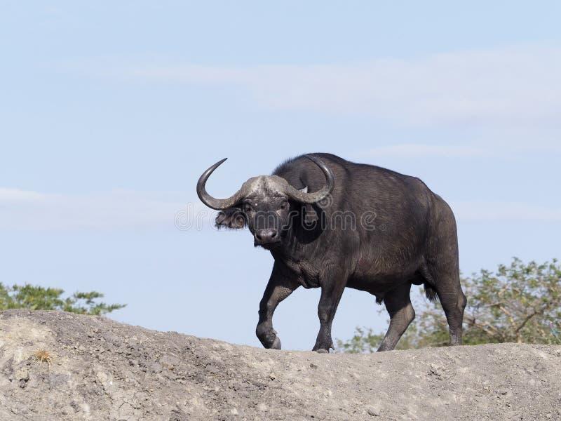 Búfalo africano, caffer de Syncerus imágenes de archivo libres de regalías