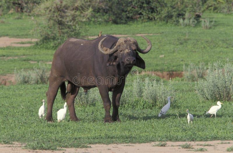 Búfalo africano, caffer de Syncerus, imagen de archivo libre de regalías