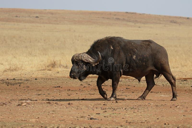 Búfalo africano, caffer de Syncerus foto de archivo libre de regalías