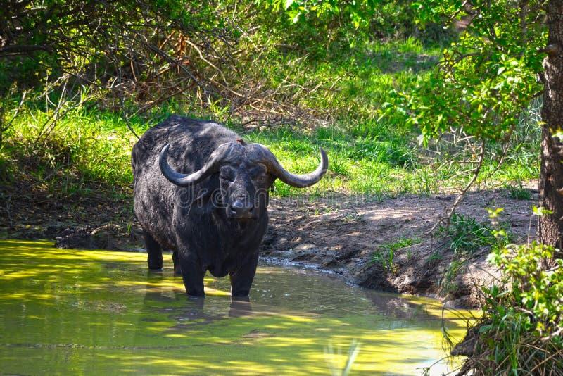 Búfalo africano (caffer de Syncerus) en la charca de agua imagenes de archivo