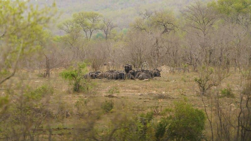 Búfalo africano ( Caffer de Syncerus imágenes de archivo libres de regalías
