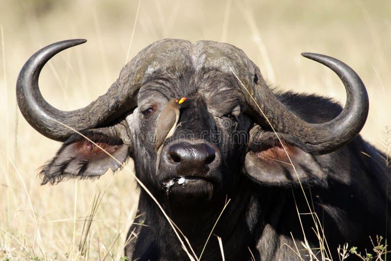 Búfalo africano com oxpecker, Kenya foto de stock