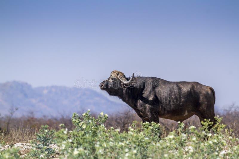 Búfalo africano en el parque nacional de Kruger, Suráfrica imagenes de archivo