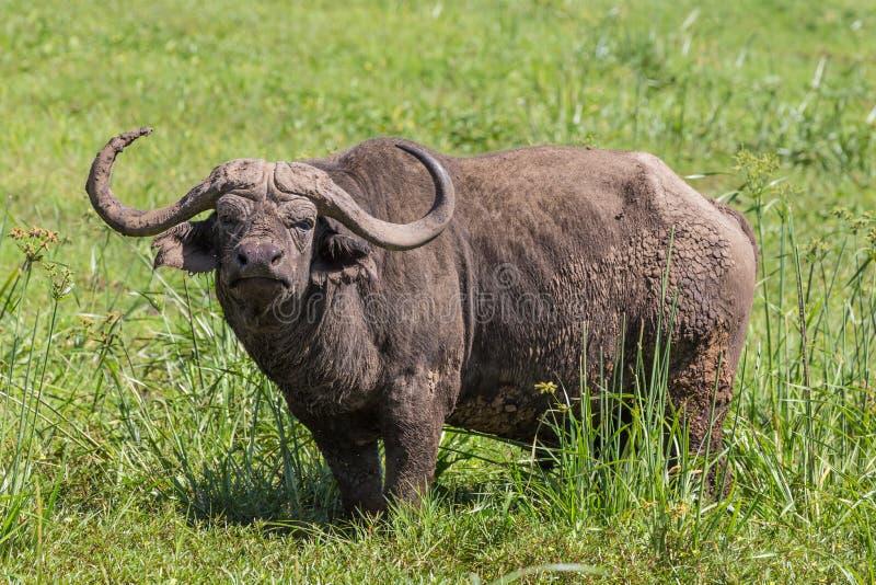 Búfalo africano masculino grande, caffer de Syncerus, pastando foto de archivo