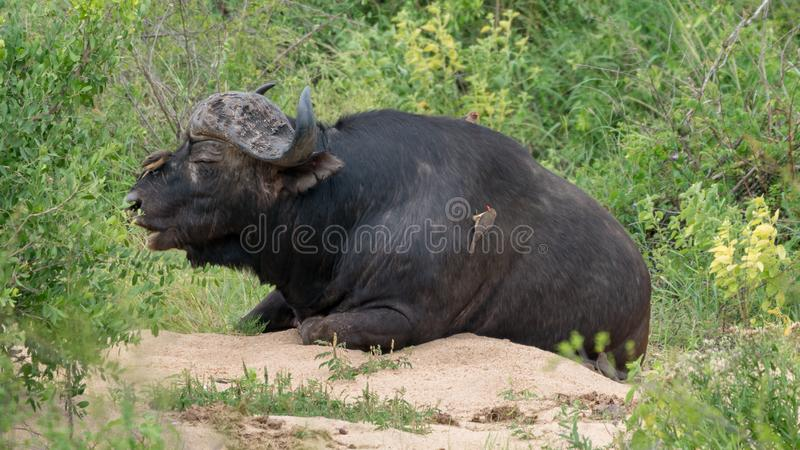 Búfalo africano no bushland de África do Sul fotografia de stock royalty free