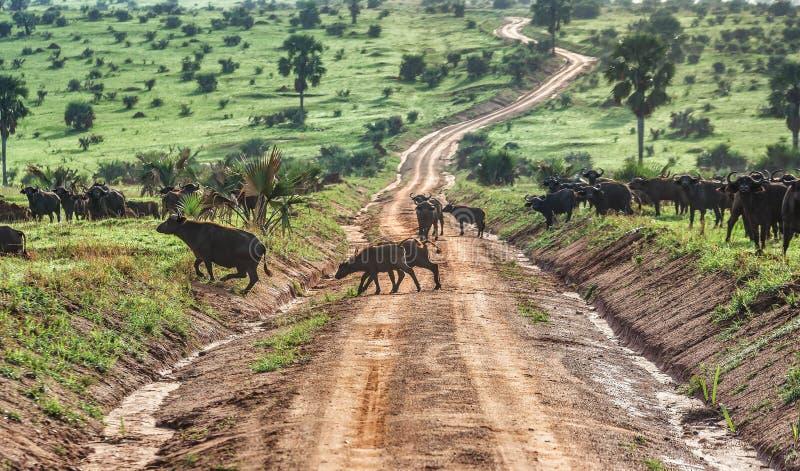 Búfalo africano no parque nacional de Murchison Falls, Uganda fotos de stock royalty free