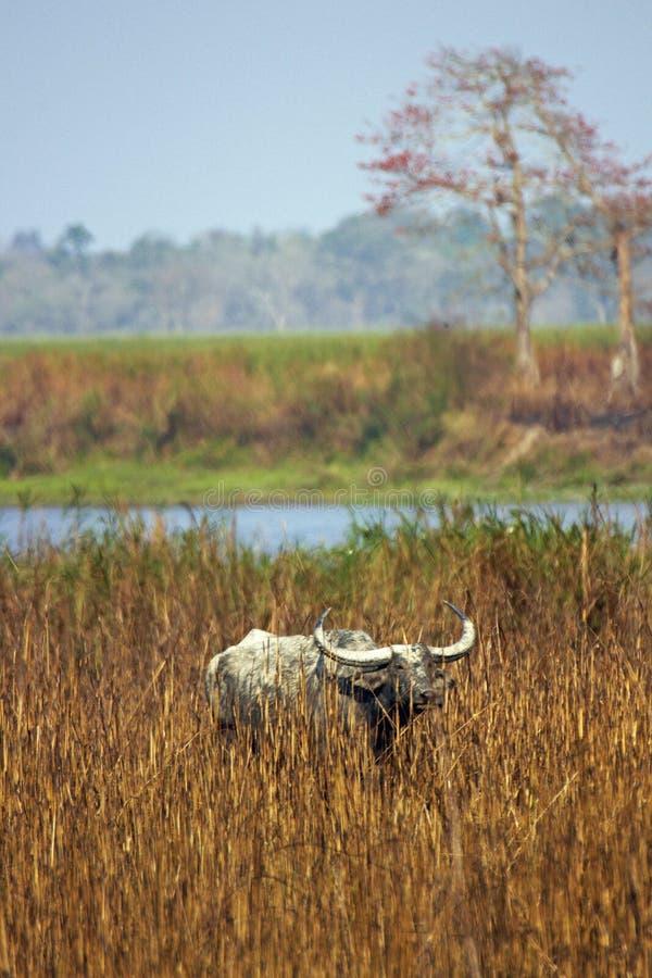 Búfalo asiático selvagem no parque nacional de Kaziranga imagem de stock royalty free