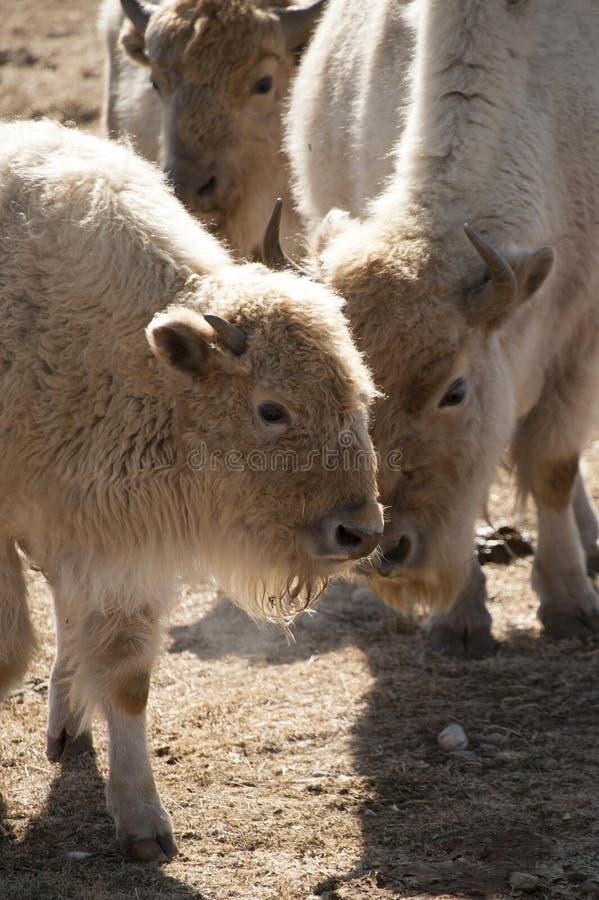 Búfalo blanco imagen de archivo