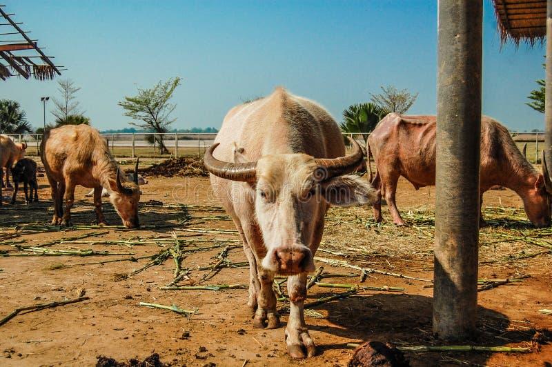 Búfalo branco foto de stock royalty free