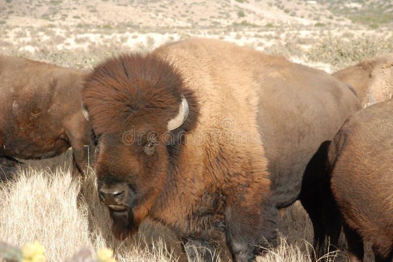 Búfalo Bull en la manada soleada imágenes de archivo libres de regalías