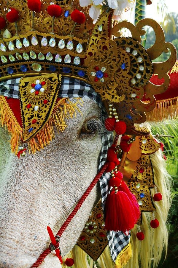 Búfalo con el ornamento tradicional, durante el festival de la raza del búfalo - Indonesia fotografía de archivo
