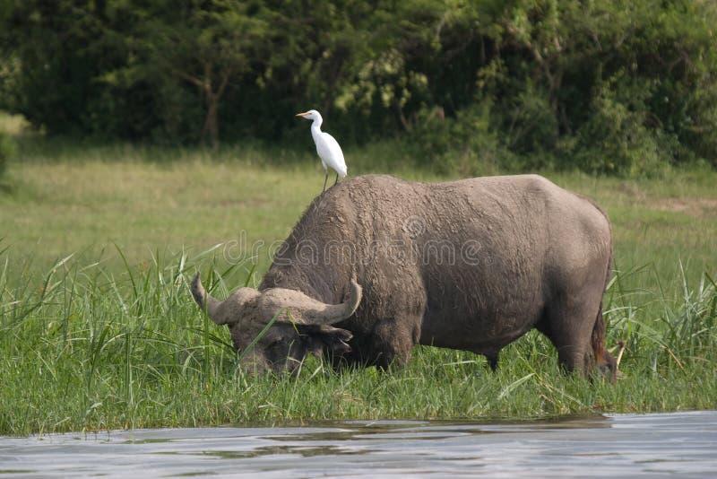 Búfalo de água e pássaro, Uganda imagem de stock royalty free