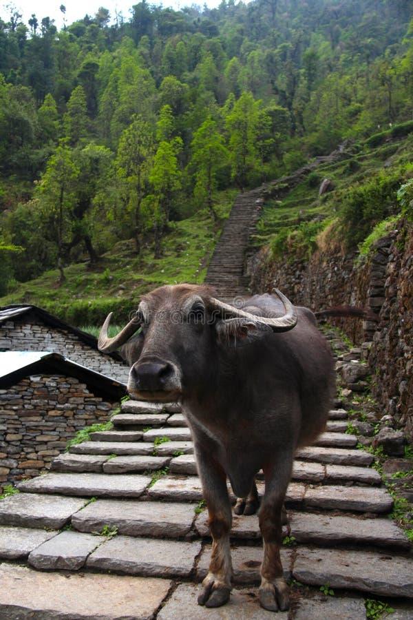 Búfalo de água na fuga fotografia de stock