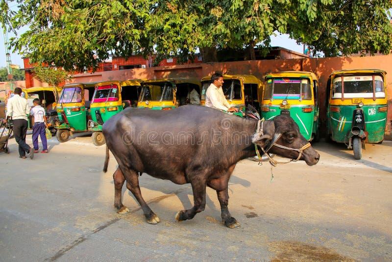 Búfalo de água que anda na rua na vizinhança de Taj Ganj de fotografia de stock royalty free