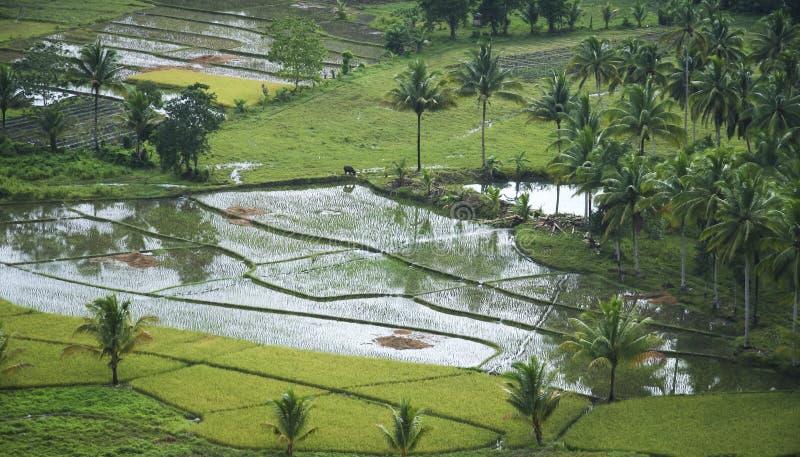 O arroz do búfalo de água coloca Filipinas fotos de stock royalty free